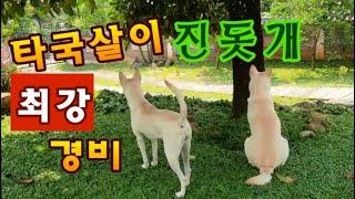 타국살이 진돗개 최강 경비 - 산나루 달이, 별이, 꽃…