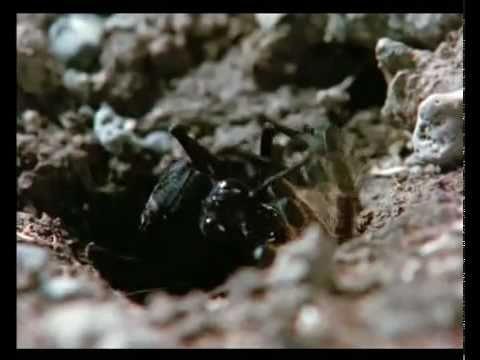 Tarantula Wasp Owns BABOON SPIDER