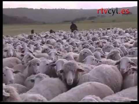 Animales salvajes matan 18 ovejas de un rebaño en Salamanca