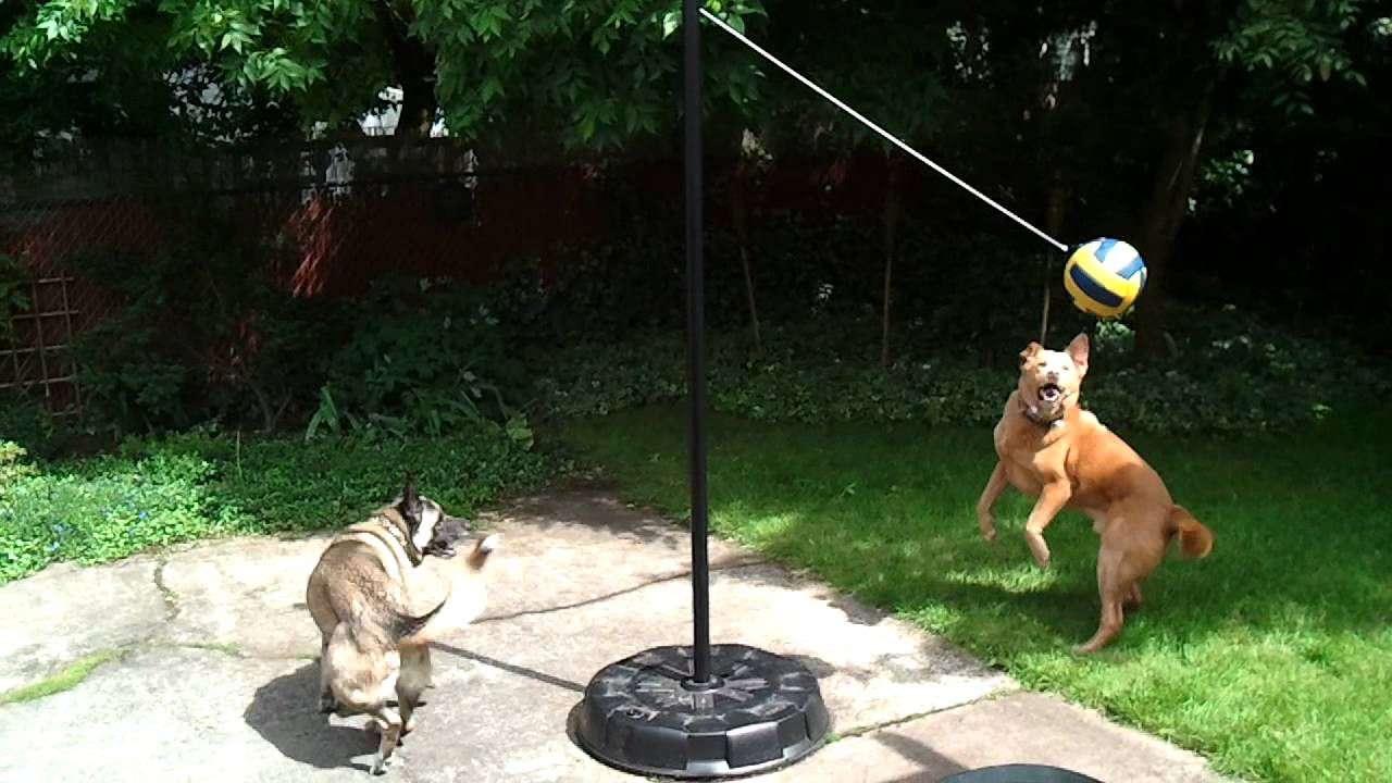 two dogs playing tether ball for two and a half minutes youtube