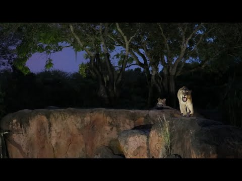 Lions Roaring on Kilimanjaro Safari's at Disney's Animal Kingdom | Riding Expedition Everest from YouTube · Duration:  21 minutes 49 seconds