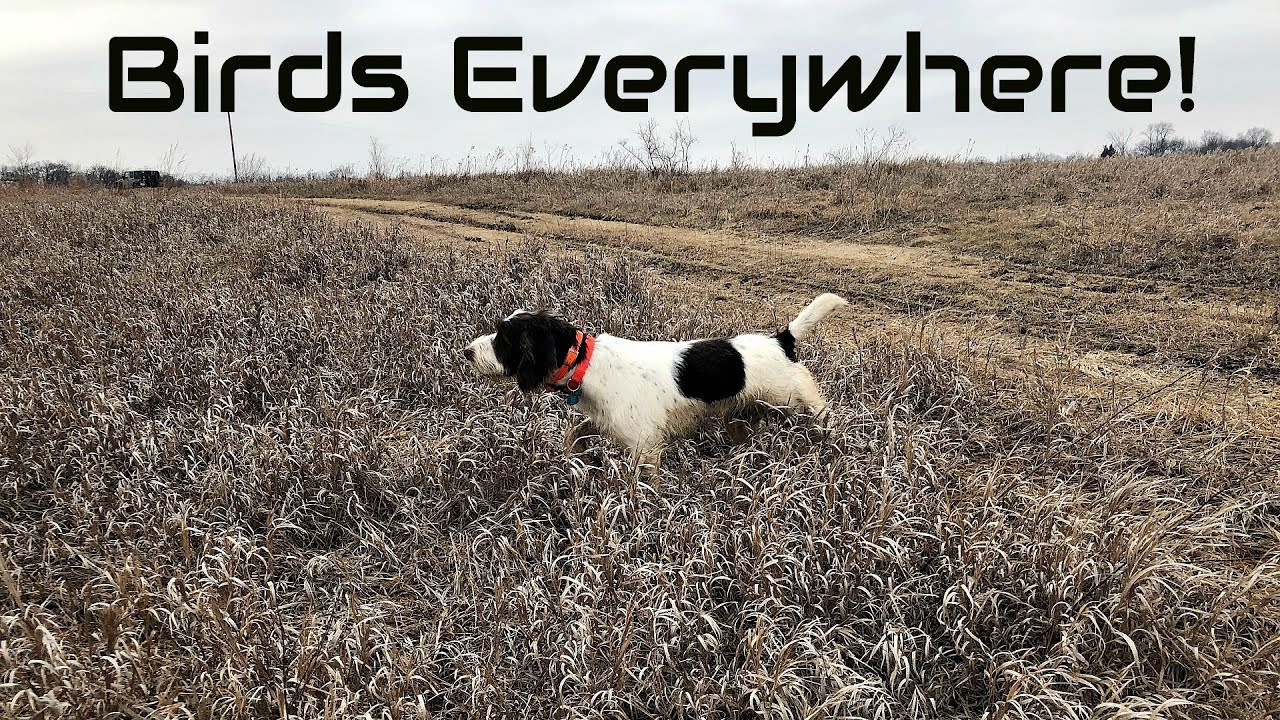 Iowa Pheasant Hunt | Best Day Ever! | Dogs in Action