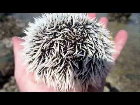 Cute Sea Urchin