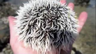 Cute Sea Urchin