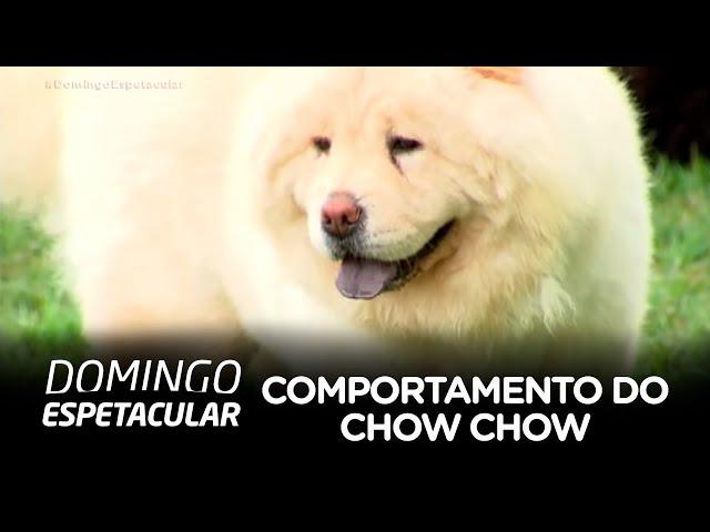 Vídeo levanta polêmica sobre comportamento de cães da raça Chow Chow
