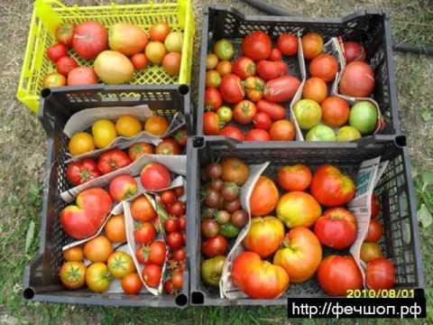 ПОМИДОРЫ - Голландские сорта помидор