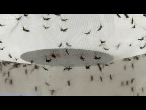 Controlling Dengue fever, improving lives | A film by the Wellcome Trust