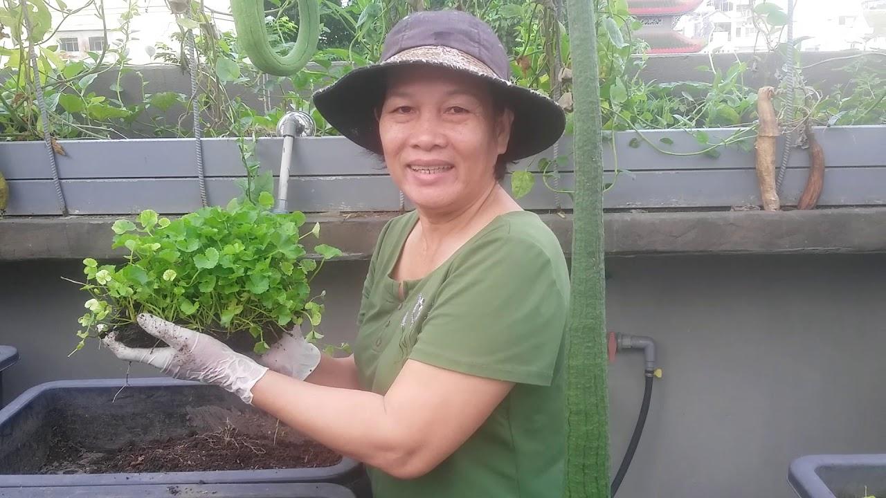 Hướng dẫn cách trồng Rau Má lên 100% | Khoa Hiên 316