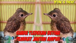 Suara Pikat Burung Tledekan Gunung Betina Ampuh Pikat Dan Pancingan Jantan Biar Bunyi