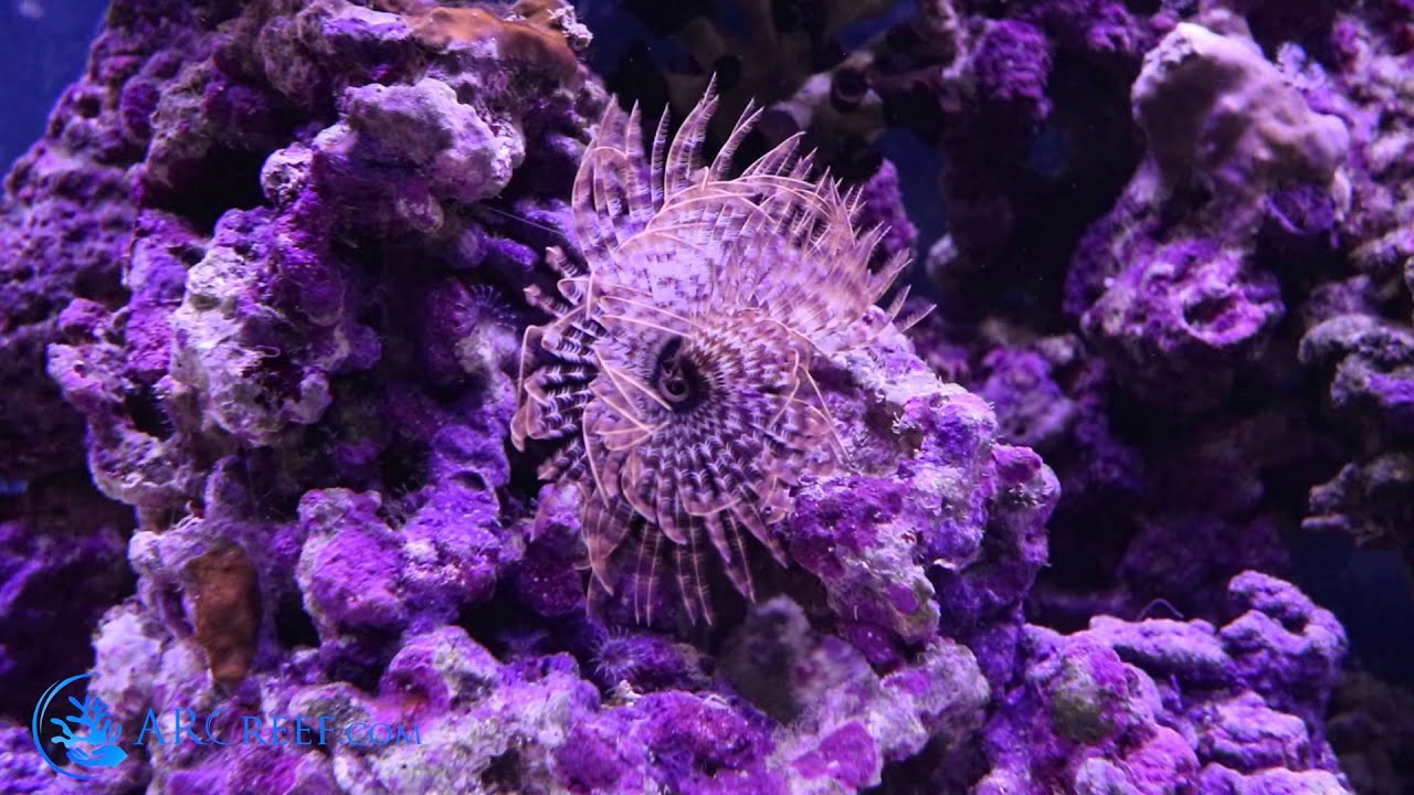 Live Rock Hitchhikers Guide To Species Identification In Your Aquarium