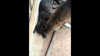 Porco do Mato acariciando cachora