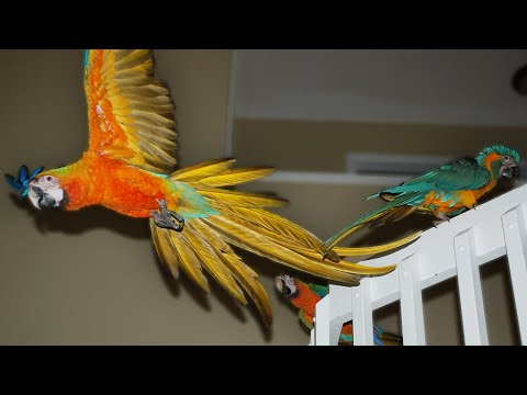 BirdTricks Tuesday: Indoor Flight Training Parrots Basics