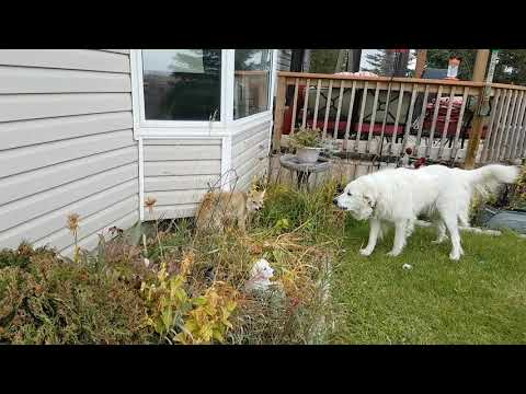 Great Pyrenees vs Coyote
