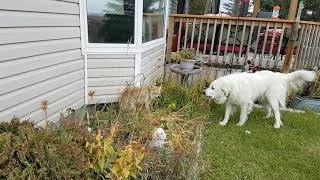 Great Pyrenees vs Coyote 😮