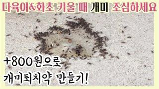 [깍지벌레를 잡기 전에 개미를 먼저 퇴치하세요].#깍지…