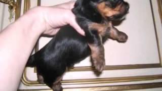 Yorkshire Terrier Welpen In Dierdorf