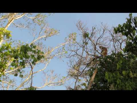 Red Colobus Monkeys at Jambiani Voodoo Cave