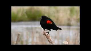 Red-winged Blackbird, William L. Finley National Wildlife Refuge, Oregon