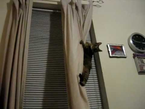 my cat ava climbing the curtains again - Cat Curtains