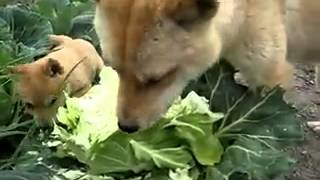 Собаки едят капусту(, 2012-03-21T09:11:04.000Z)