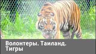 Волонтеры. Таиланд. Тигры | Живая Планета