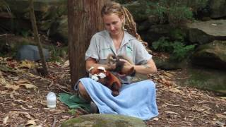 Zookeepers Care for Injured Red Panda