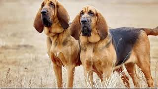 Bloodhound  Dog Breed  Pet Friend