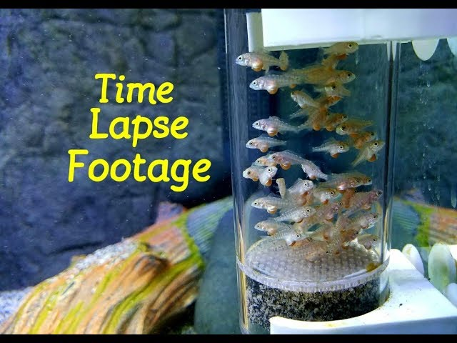 Watch Cichlid Babies Grow Before Your Eyes....New Episode