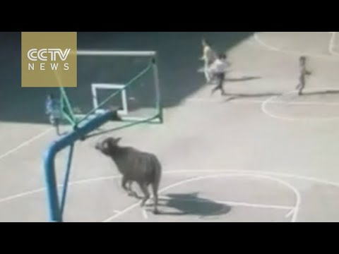 Buffalo storms into primary school in China