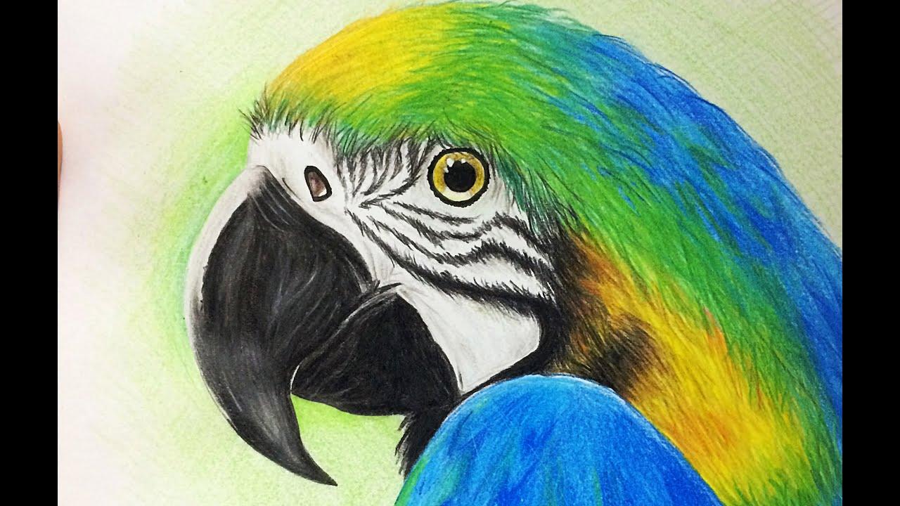 Conhecido Desenho realista Arara - Passo a Passo / Realistic drawing macaws  UO42