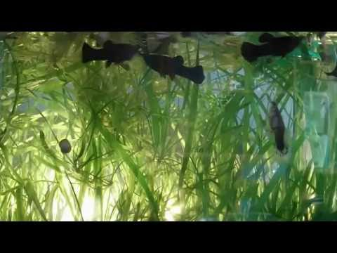 Аквариумные рыбки и растения Аквариумная рыбка Тернеция