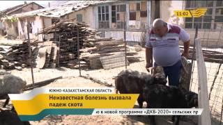 Неизвестная болезнь вызвала падеж скота на юге республики