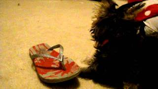 Mini Schnauzer Chewing Up A Flip Flop! Part 1