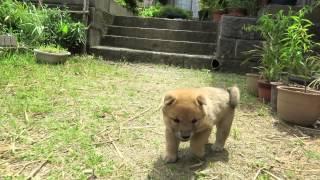 生後5週間になった山陰柴犬の子犬兄弟 外に出てお散歩です.