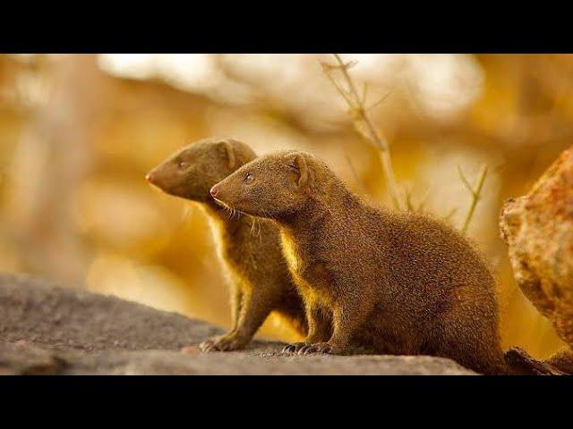 Mongoose Vedic Astrology