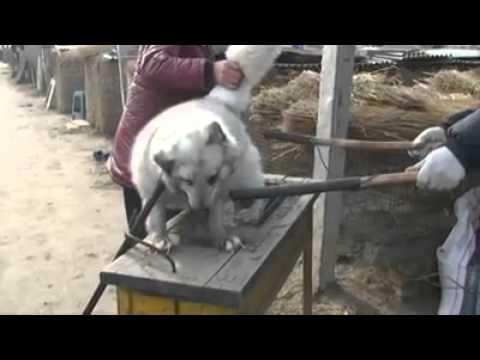 China animal Criminal!!