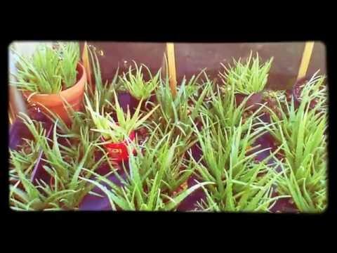 Aloe Vera (A's Aloe Farm)