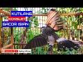 Kutilang Gacor Konslet Kutilang Jenis Apapun Bakalan Nyaut Gacor  Ampuh  Mp3 - Mp4 Download