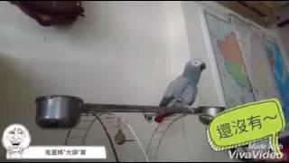 鸚鵡學人精讓阿公生氣阿公吃飯喔 我的熱情