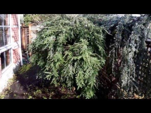 Weeping Canadian Hemlock / Tsuga canadensis