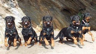 Cornwall 2014 Rottweiler Montage