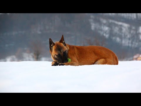 First snow- Belgian Malinois dog /6 months old/