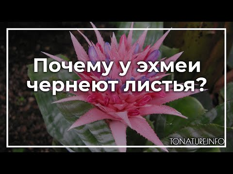 Почему у эхмеи чернеют листья? | toNature.Info