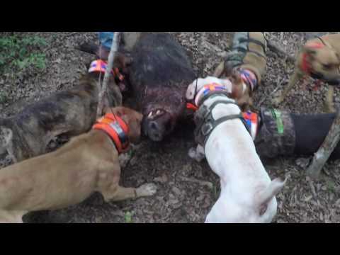 2017 Hog Dog Hunt