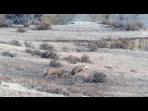 EPIC mule deer fight!