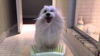 Happy Maltese Ko B Long Hair Slow Motion Video