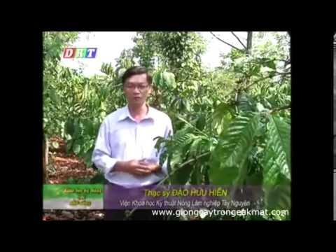 Cân bằng dinh dưỡng cho cây cà phê trong mùa mưa