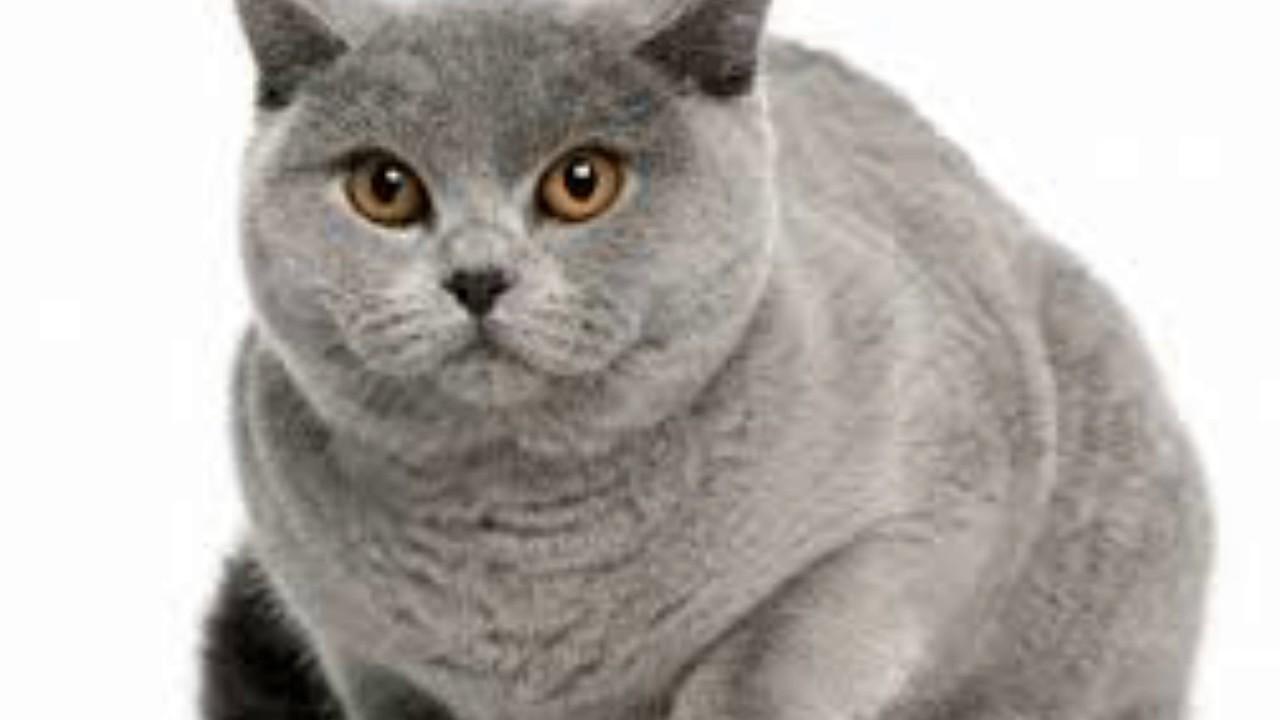 Kucing British Shorthair Youtube
