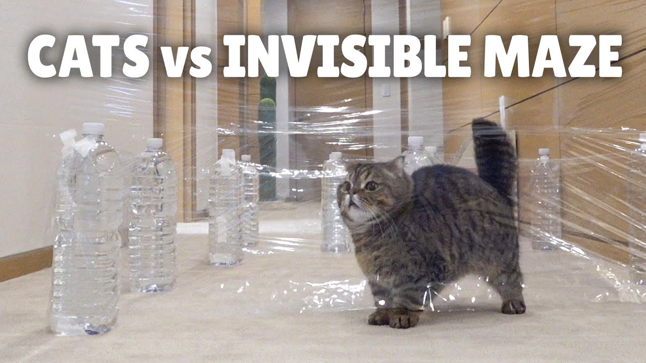Cats vs Invisible Maze