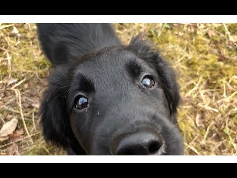 FLAT COATED RETRIEVER PUPPY GROWING UP